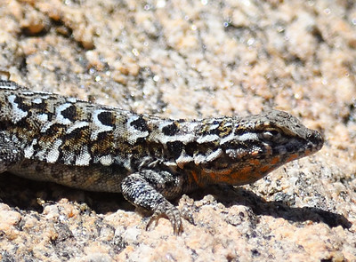 SIde-blotched Lizard - 5/24/2018-  Kitchen Creek east Pacific Crest Trail