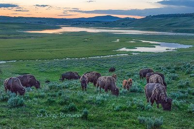 Bison herd in Hayden Valley after sunset