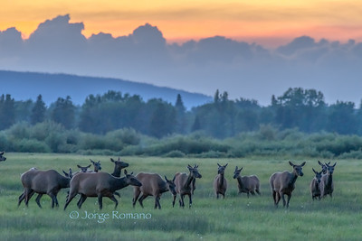 Herd of elk in an open field after sunset