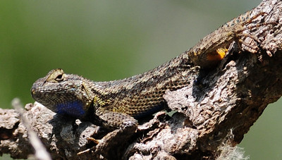 Western Fence Lizard - San Elijo Lagoon