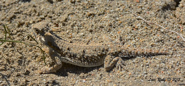 Flat-tailed Horned Liard - 3/7/2015 - San Diego County Old Springs Open Space Preserve - Borrego