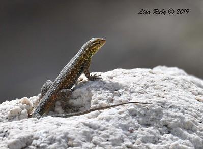 Common Side-blotched Lizard - 4/14/2019 - Agua Caliente County Park Marsh Trail