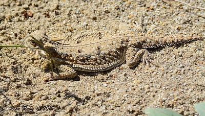 Flat-tailed Horned Lizard - 3/7/2015 - San Diego County Old Springs Open Space Preserve - Borrego
