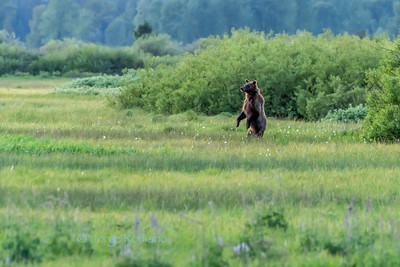Grizzly Bear standing on two legs to better observe herd of elk near by.