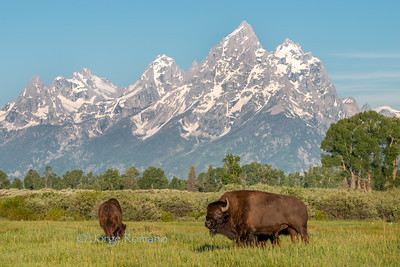 Bison herd and The Grand Teton Mountains