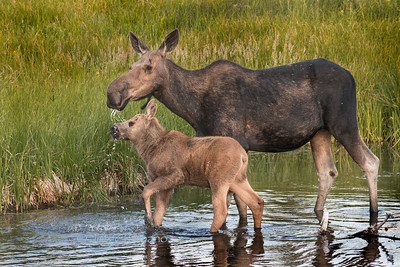 Moose with calf drinking water in the Snake River at suinrise.