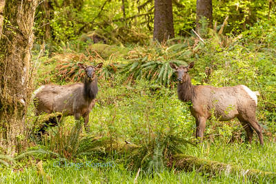 Two Roosevelt Elk
