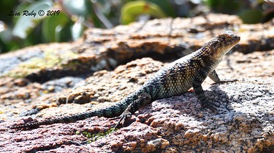 Granite Spiny Lizard - 5/15/2019 - Kitchen Creek, east PCT