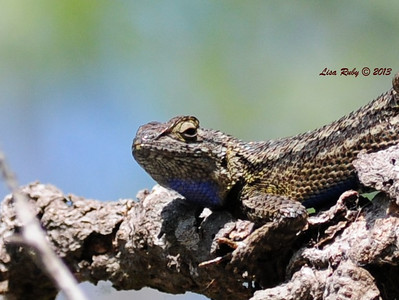 Western Fence Lizard at San Elijo Lagoon.