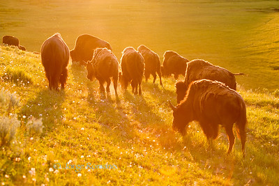 Bison herd in Hayden Valley in late afternoon