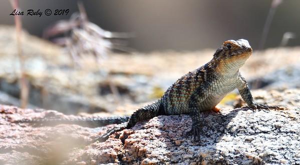 Granite Spiny Lizard - 5/15/2019 - Kitchen Creek, east PCT