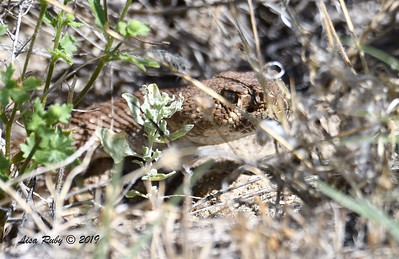 Red Diamondback Rattlesnake - 4/13/2019  - Agua Caliente County Park Marsh Trail