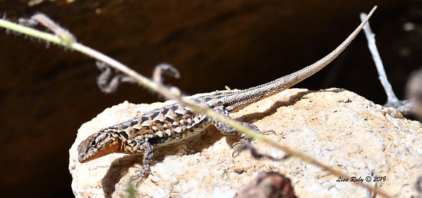 Common Side-blotched LIzard - 5/15/2019 - Kitchen Creek, east PCT
