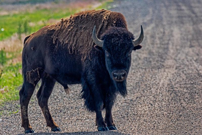 Bison Standoff