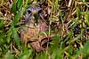 Red-shouldered Hawk Stare