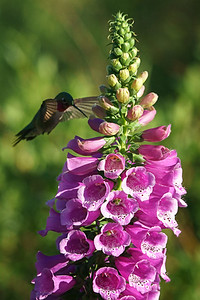 Broad-Tailed Hummingbird 08