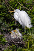 Great Egret Nest 1
