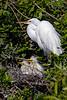 Great Egret Nest 1
