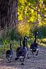Goose Family Stroll