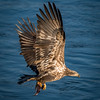 Juvenile Eagle Fishing