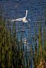 Egret Take-off