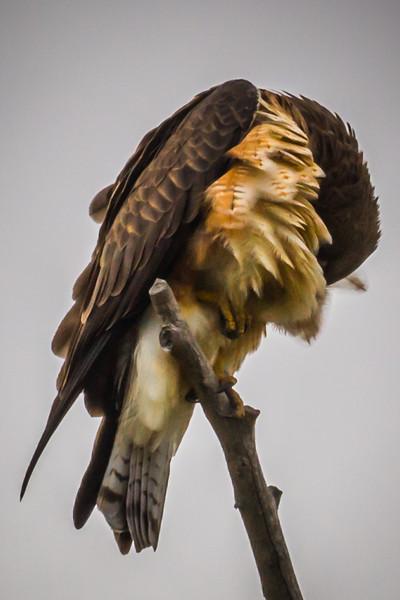 Swainson's Hawk Preening