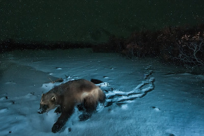 A wolverine returns to scavenge a caribou carcass it found in the Peel Watershed.