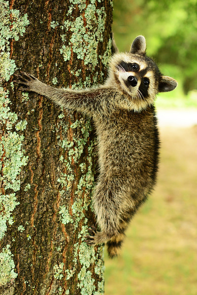 """Rocky Raccoon"""