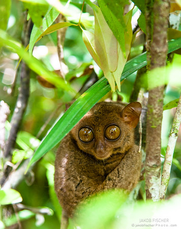 Tarsiers in the rainforest