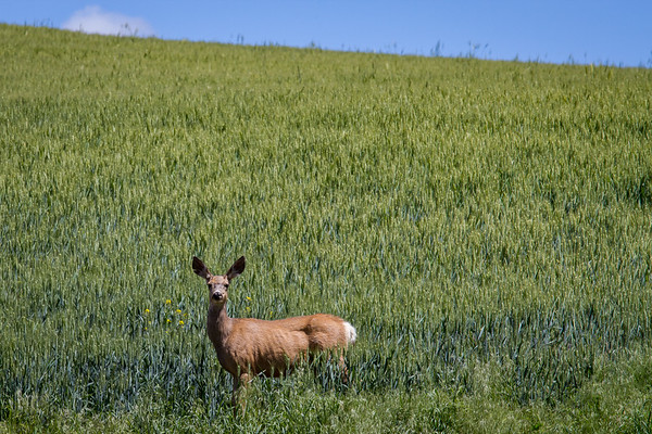 All Ears in the Palouse