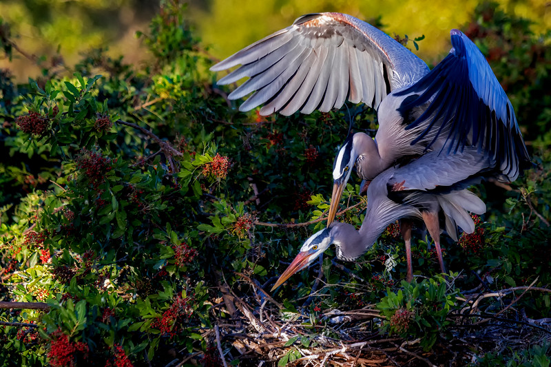 Great Blue Mating