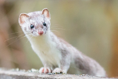 short tail weasel