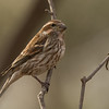 """Female Purple Finch"""