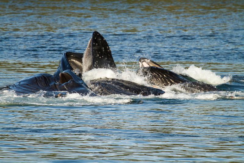 Humpback Whales, bubble net feeding, Juneau, Alaska