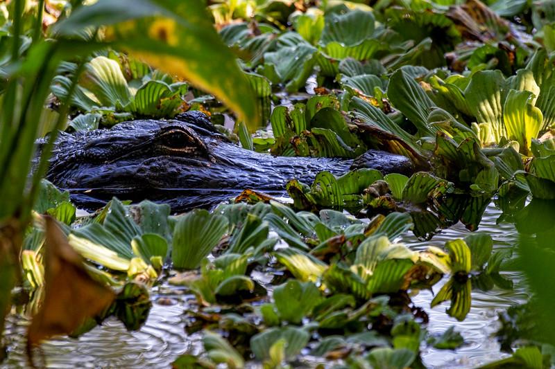 Swamp Gator 1
