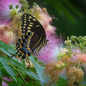 Swallowtail Butterfly and Mimosa Tree