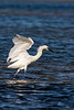 Egret Fishing Dance