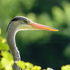 grey Egret closeup