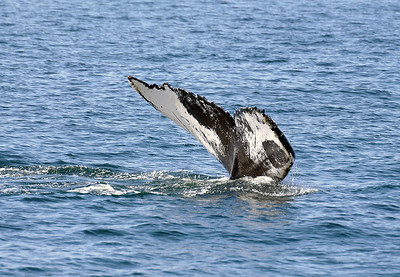 Humpback Whale, St. Andrews, NB Canada