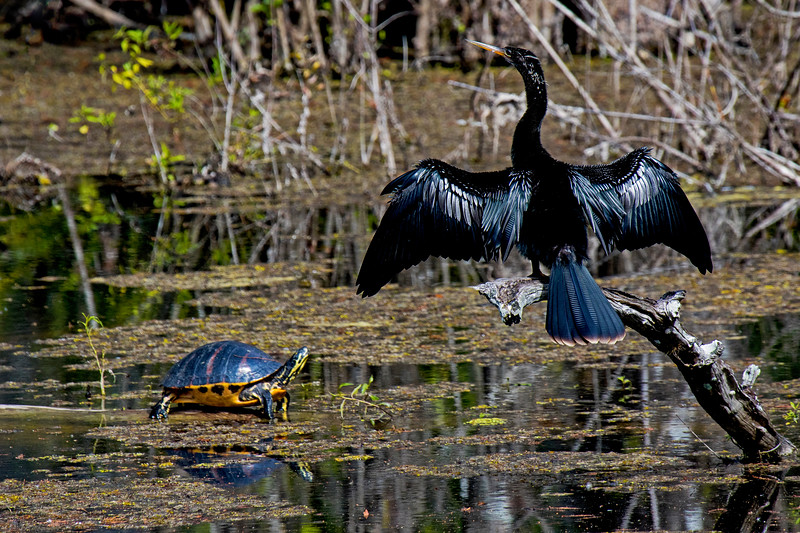 Anhinga and Turtle