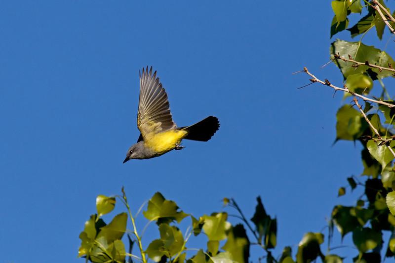 Kingbird In Flight