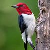 Red-headed Woodpecker, Montour County, Pennsylvania