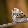 """""""Leucistic Sparrow"""""""