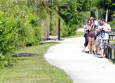 Watch out for that gator!! Everglades National Park, Anhinga Trail, South Florida