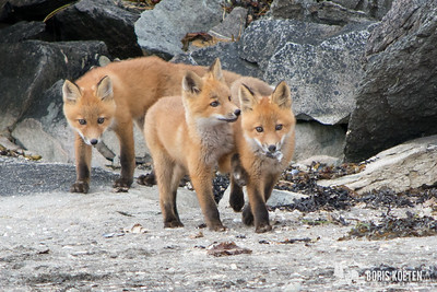 Three young foxes at Geographic Harbor, Alaska