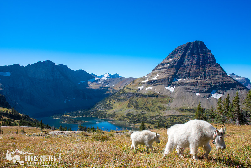 Mountain goat with young above Hidden Lake in Glacier National Park, Glacier MT