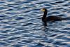 Cormorant Swim