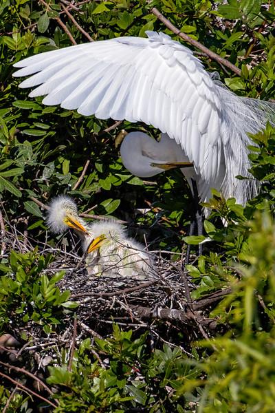 Great Egret Nest 3