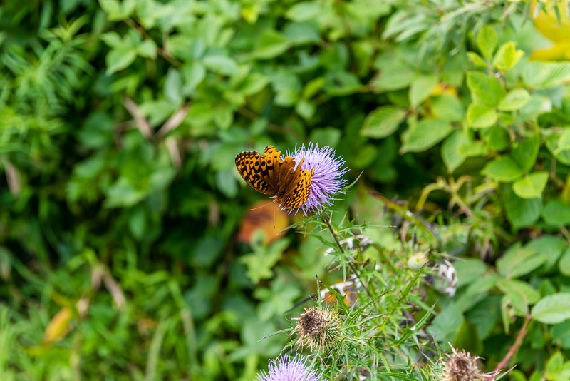Thistle & Butterfly