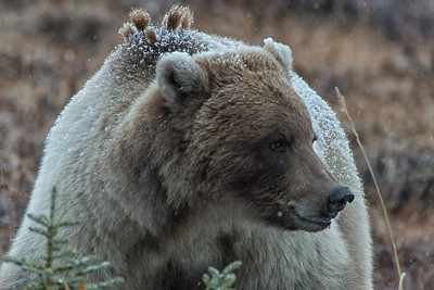 Grizzly Bear in fall colours and snow on the tundra. Off of the Dempster Highway, Yukon, Canada.